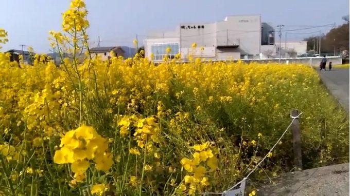 東温市菜の花畑